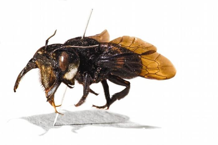 阿尔弗雷德. 罗素. 华莱士采集的华莱士巨蜂原始标本。 PHOTOGRAPH BY ROBERT CLARK, NAT GEO IMAGE COLLECTION