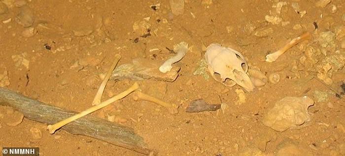 北美洲英国属地开曼群岛发掘出300年历史灭绝动物遗骸 属于新品种哺乳动物