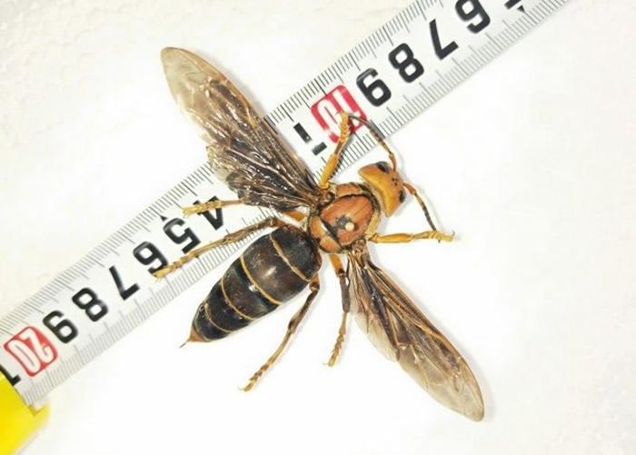 该虎头蜂打破世界体型最大虎头蜂的纪录。