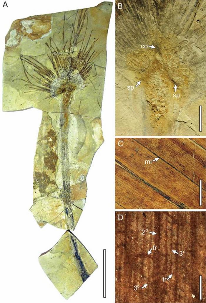 西藏似沙巴棕 Sabalites tibetensis T. Su et Z.K. Zhou