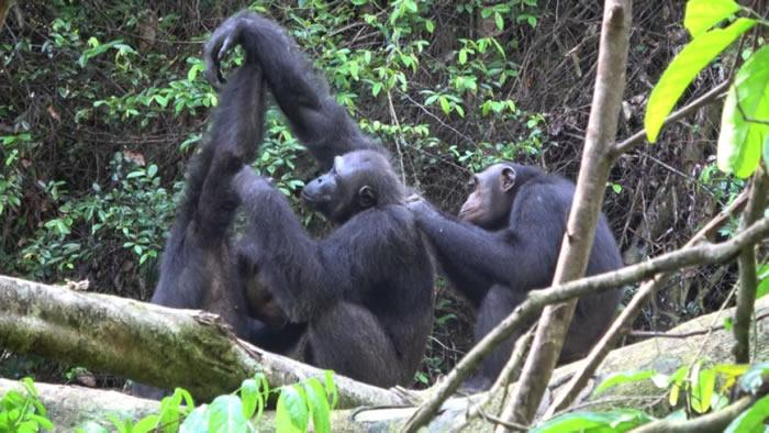 人类活动对黑猩猩的文化行为与传统产生剧烈冲击