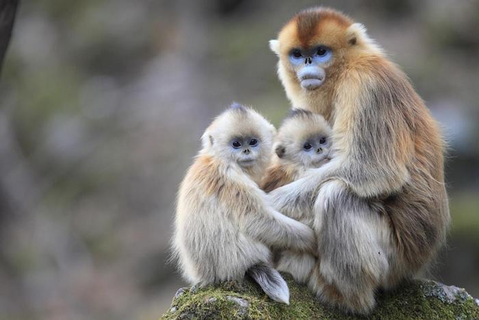 新研究发现,在中国秦岭山出没的川金丝猴会照顾其他猴子的小孩。 PHOTOGRAPH BY CYRIL RUOSO, MINDEN PICTURES