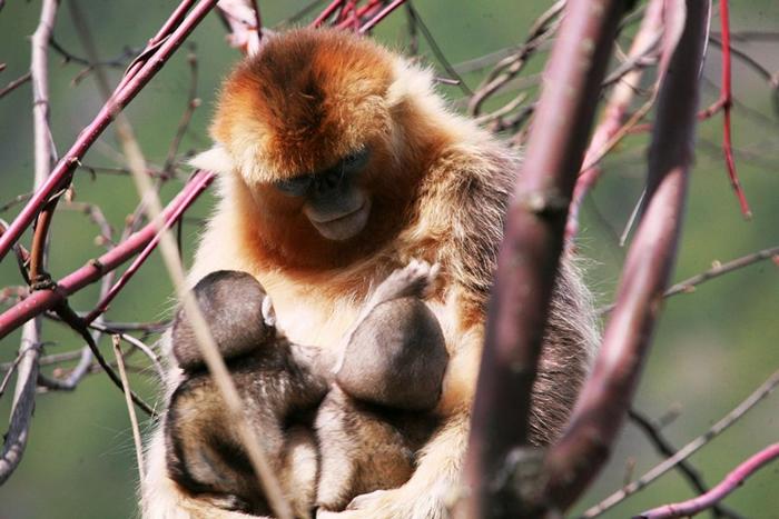 中国的研究员在研究这些猴子好几年后,才发现一名母亲同时哺乳两名幼猴的现象。 同时,他们也才意识到异母哺乳的行为在这个物种中非常普遍。 PHOTOGRAPH BY