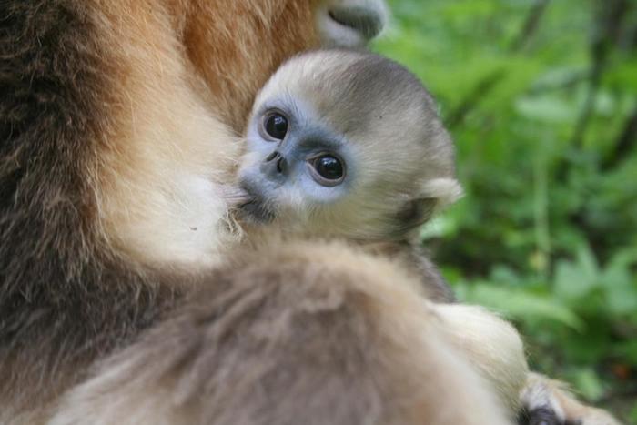研究人员断定:异母哺乳让幼猴在冬天更有生存优势。 PHOTOGRAPH BY ZUOFU XIANG