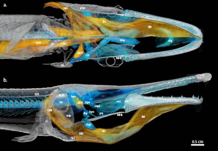"""进食快如闪电的""""鳄嘴鱼""""帮助了解它的远古祖先如何捕食"""