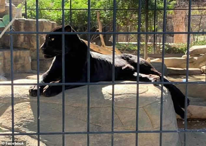 美国亚利桑那州女子为自拍擅自越过动物园围栏遭美洲虎抓伤