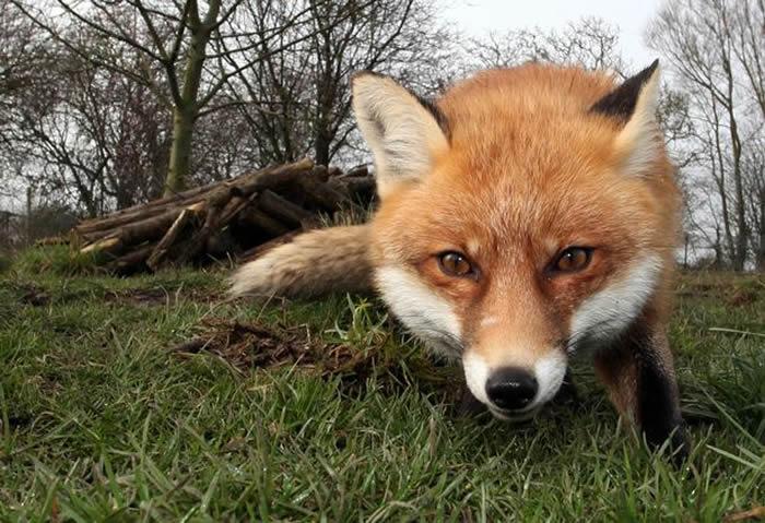 法国鸡舍一群母鸡把溜进农场的小狐狸啄死