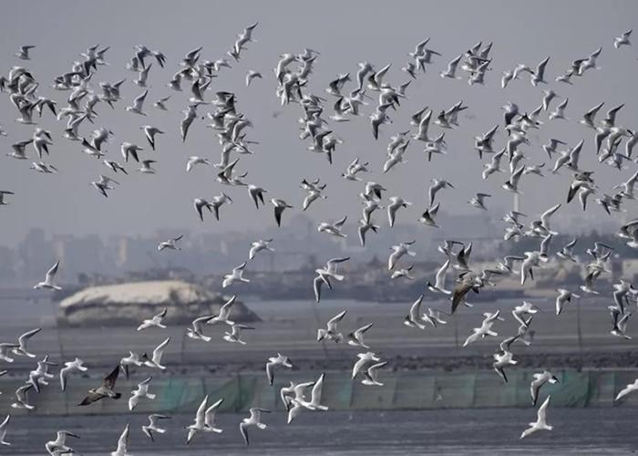 大量鸥类在围头湾飞舞。