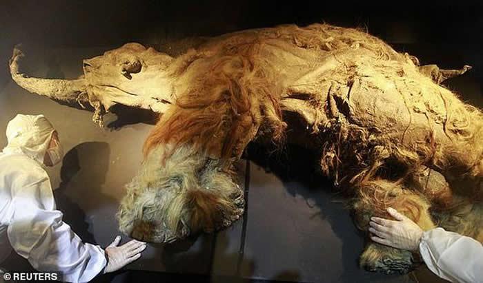 死于28000年前的猛犸象Yuka的细胞被移植到小鼠体内后出现细胞活动迹象