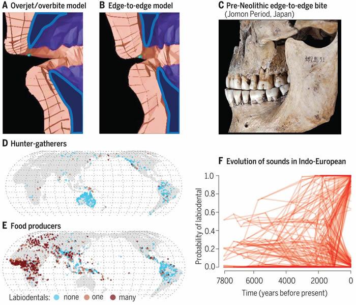 人类与饮食相关的撕咬变化促成新语音的传播