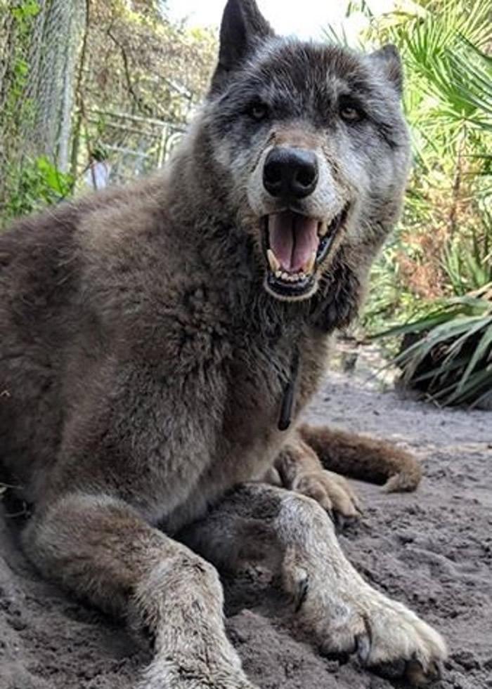 Yuki为狼与狗杂交后所生下的后代。