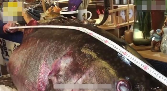 广西北海钓鱼爱好者以大八爪鱼作为诱饵钓获重逾100公斤深海巨型龙趸