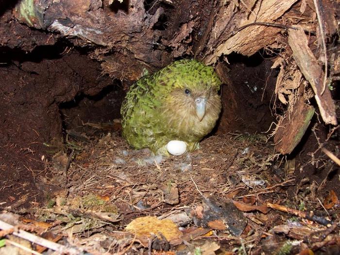 虽然保育工作十分积极,但鸮鹦鹉特别难以复育,因为牠们每隔几年才会繁殖,而且即使牠们交配了,超过一半的蛋也是未受精的。PHOTOGRAPH BY ANDREW D