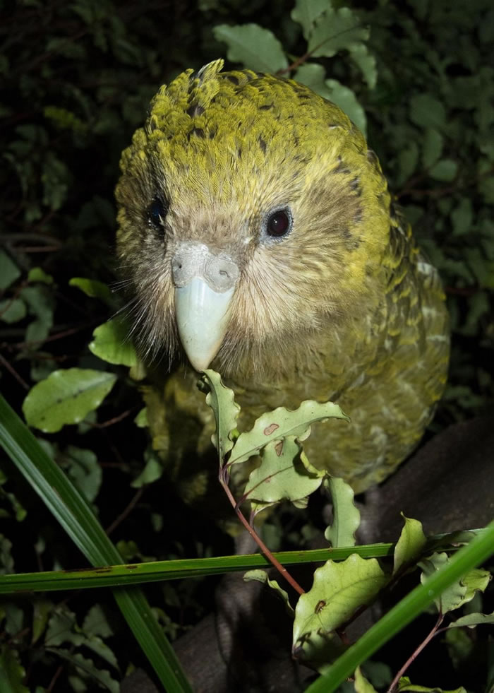 鸮鹦鹉已被转移到新西兰外海三座无掠食者的岛上,但随着2019年被订为繁殖季创纪录的一年,它们可能很快就需要新的领地。 PHOTOGRAPH BY ANDREW