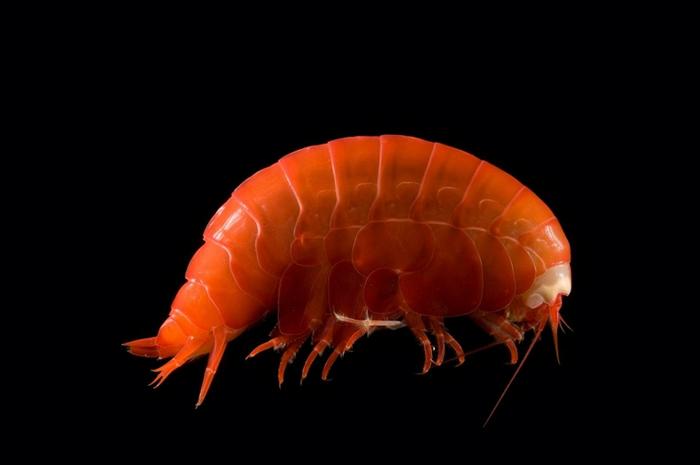 这只状似虾子的微小深海端足类动物,把微小的塑料碎片和微纤维吃下肚。 PHOTOGRAPH BY DAVID SHALE, MINDEN PICTURES