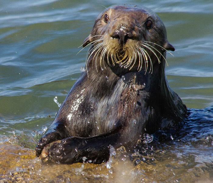 马克斯·普朗克学会科学家介绍海獭为何要敲石头