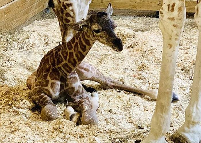 长颈鹿出生后数小时已可步行。