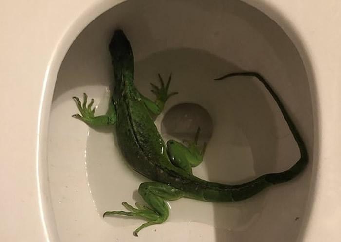 屋主发现坐厕有一条鬣蜥,吓得立即报警求助。