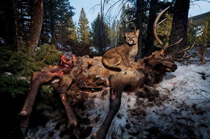 在黄石地区,一只昵称是「来福」(Lucky)的四月龄美洲狮(cougar)幼崽坐在一头麋鹿(elk)的尸体上。 PHOTOGRAPH BY STEVE WINT
