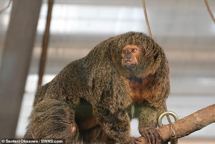 芬兰赫尔辛基动物园发现肌肉不寻常的僧面猴