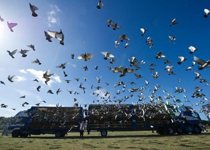 比利时经常举行赛鸽活动。