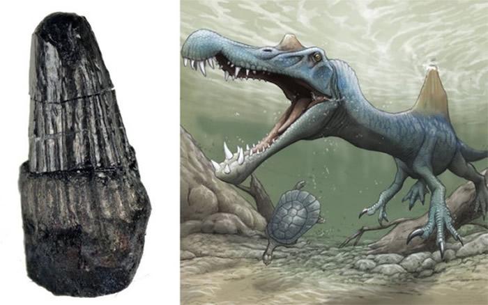 日本和歌山的汤浅町岸边挖掘出长1.4公分棘背龙牙齿化石