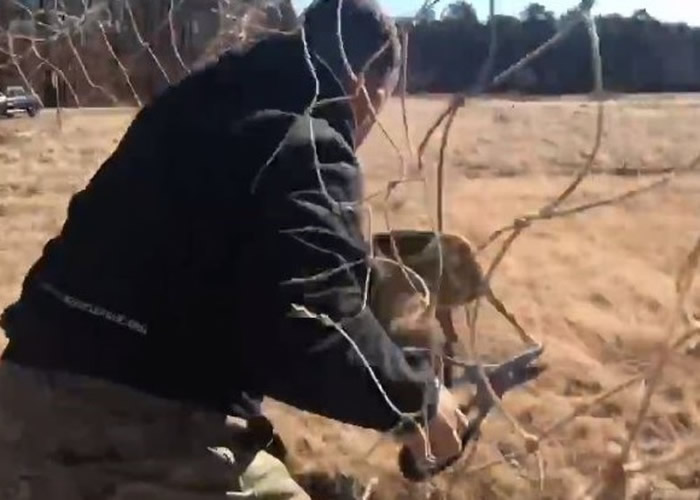 美国纽约州小鹿被足球龙门的网缠住鹿角
