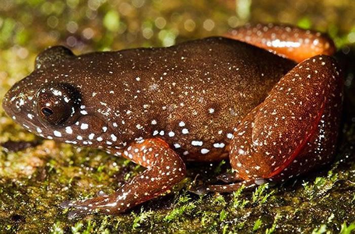 印度西高止山脉发现指甲大小的矮星蛙