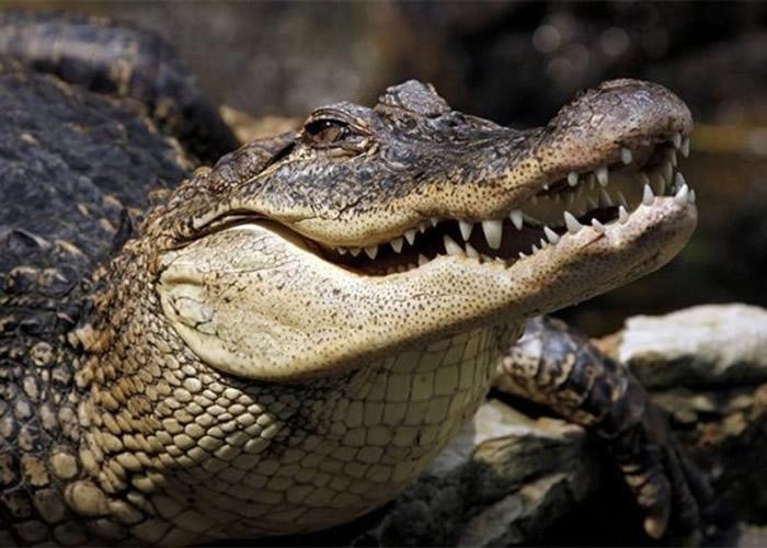 由祖龙演化而来的鳄鱼和鸟类同样可以听到高频率声音