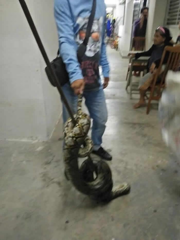 凌晨4点感觉脖子冰冰的 马来西亚少女惊醒惨被3公尺长蟒蛇绕颈
