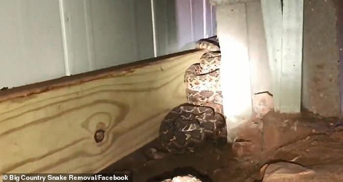 美国德州男子求救家中发现有蛇出没 专家挖出一窝45条响尾蛇