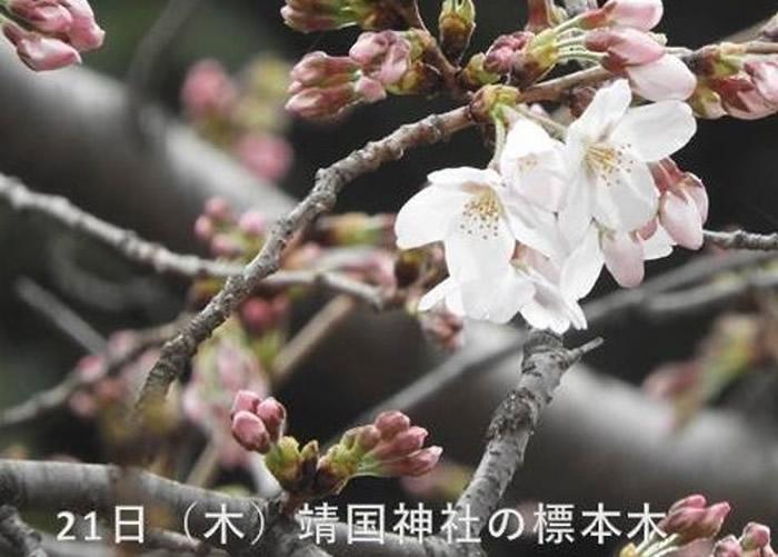 靖国神社内染井吉野樱比去年迟开花。