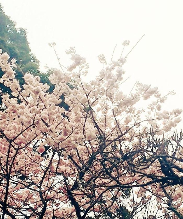 另一网民上传家居附近的樱花相片。