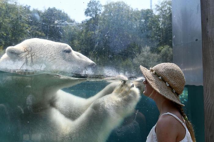 法国某家动物园中一名游客正在玻璃幕后看着北极熊。 包含黄石公园在内的许多美国国家公园,有愈来愈多的游客冒着死亡风险接近熊或其他野生动物,只为了捕捉拍照的时机。