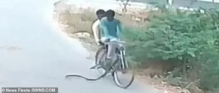 印度泰伦加纳邦2名骑单车男子惊遇过马路的眼镜蛇 吓得慌忙弃车逃跑