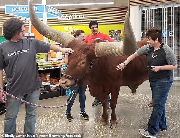 """宠物产品连锁店""""欢迎所有戴颈圈宠物"""" 美国夫妇拖着900公斤重非洲长角牛光临"""