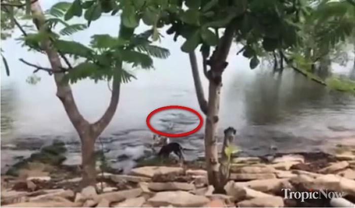 澳洲昆士兰老师意外拍下河边玩耍的狗狗惨遭鳄鱼袭击拖下水的骇人影像