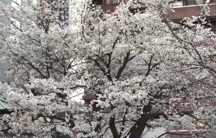 日本大学破解樱花代表品种染井吉野樱基因组 或准确预测开花时间