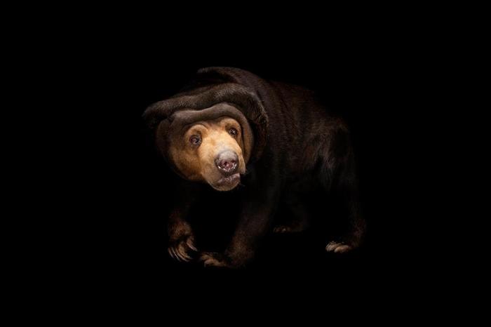 「表情模仿」向来被认为是人类与大猩猩的专属绝技,不过马来熊显然也精于此道。 PHOTOGRAPH BY JOEL SARTORE, NATIONAL GEOGR