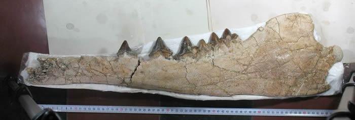 秘鲁发现的四足鲸类化石可以追溯到4300万年前