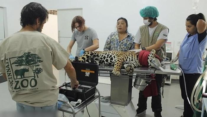 美洲豹受孕并不容易。