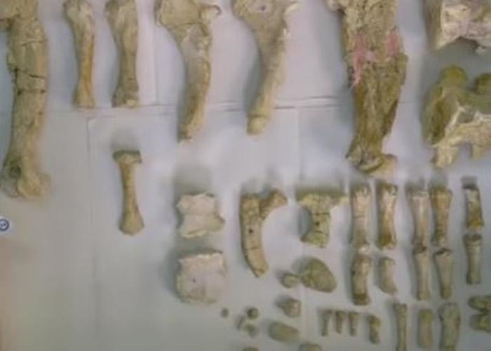 该只鲸豚类祖先的遗骨保存完好。