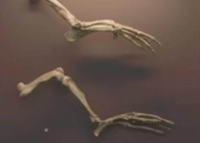 鲸豚类祖先的脚及脚趾长而幼细。