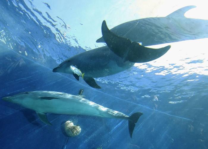 美国科学家发现雌性宽吻海豚也有性高潮