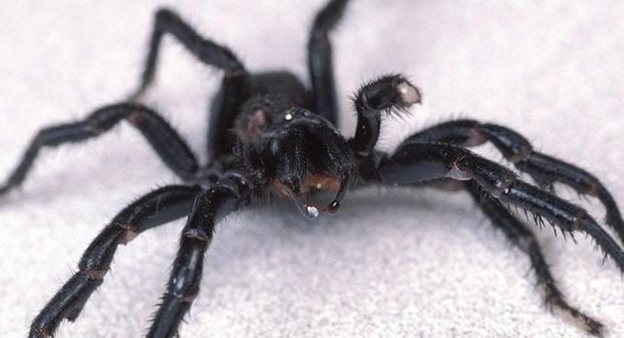 澳大利亚东海岸六疣蛛科毒蜘蛛的毒液中含有独特物质可大大减缓中风患者脑损伤
