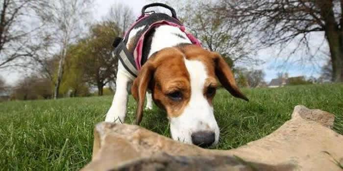 英国古生物学家训练他的猎犬找到25万年前犀牛骨头化石