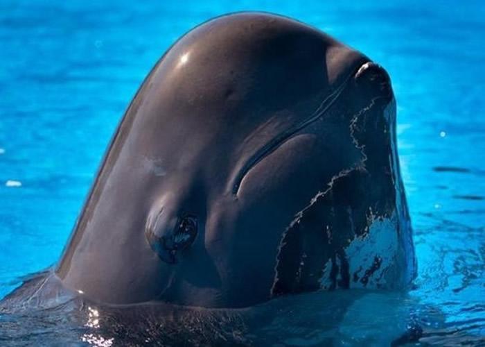 今年内第二宗 美国佛罗里达州奥兰多海洋世界领航鲸因病而亡