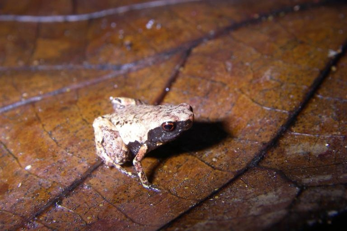 「最小迷你蛙」(Mini mum)生活在马达加斯加东部沿岸的落叶层里。 PHOTOGRAPH BY DR. ANDOLALAO RAKOTOARISON