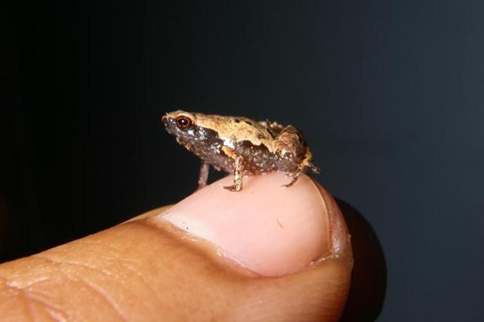 成年的雄性最小迷你蛙。 这种蛙也是全世界数一数二小的蛙,坐在人类指甲上还绰绰有余。 PHOTOGRAPH BY DR. ANDOLALAO RAKOTOARIS