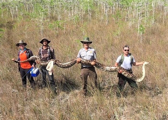 美国佛罗里达州大沼泽地国家保护区捕获5.18米长雌性缅甸蟒 身怀73颗蛇蛋